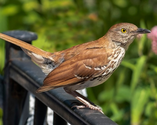 Brown_Thrasher_DSF8516
